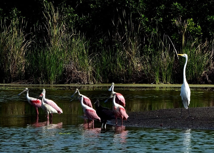 4—-sm-Spoonbills-and-egret