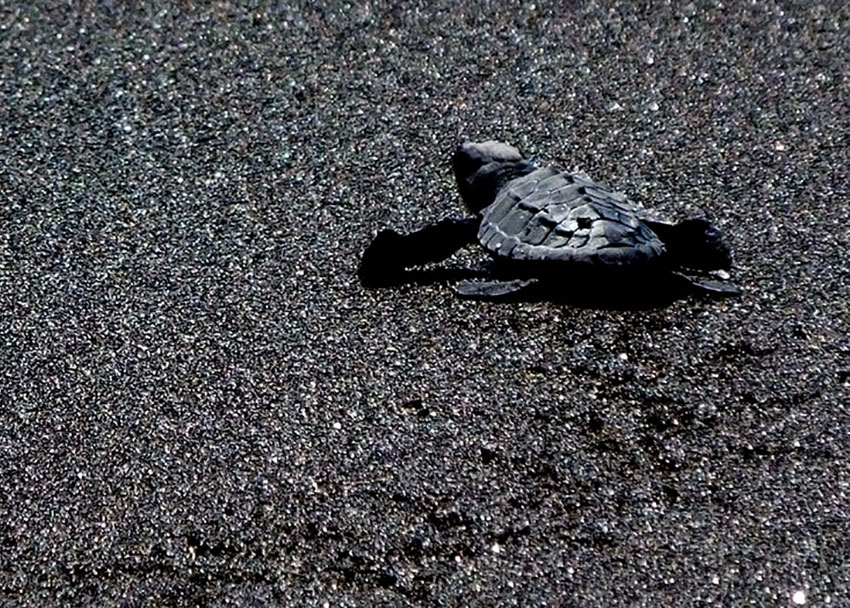 A newly released baby leatherback turtle races across the black sand toward the water in Cuyutlán.