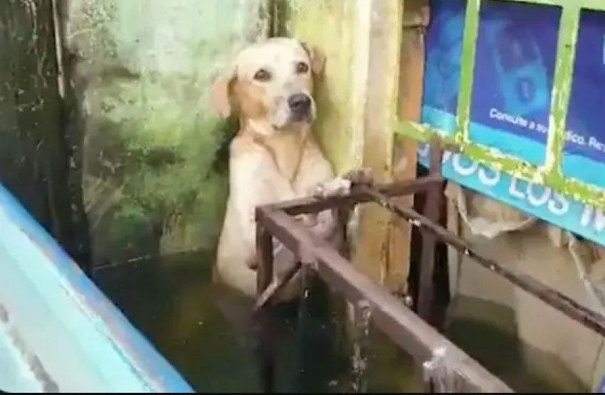 The hapless dog before its rescue Saturday in Villahermosa.