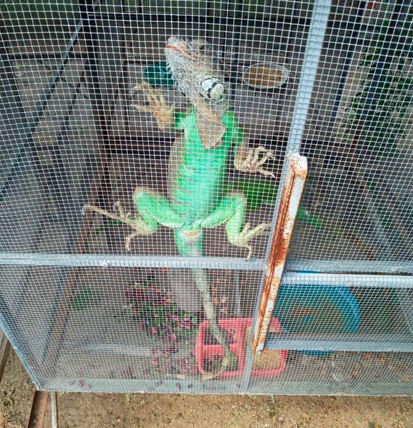 iguana at juchitan sanctuary
