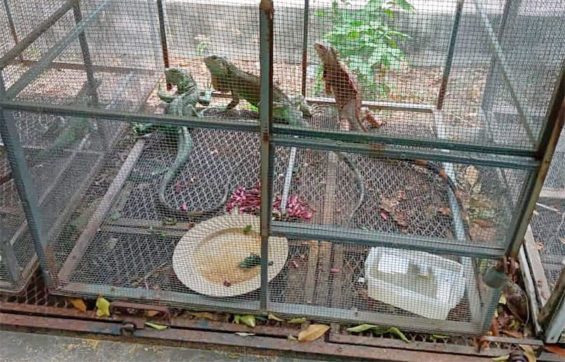 An iguana cage at the sanctuary in Juchitán.