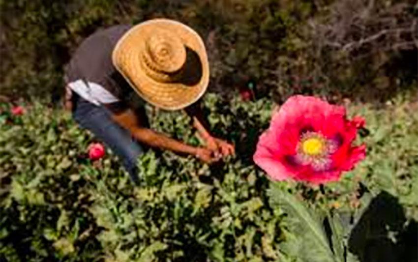 A poppy farmer in Guerrero.