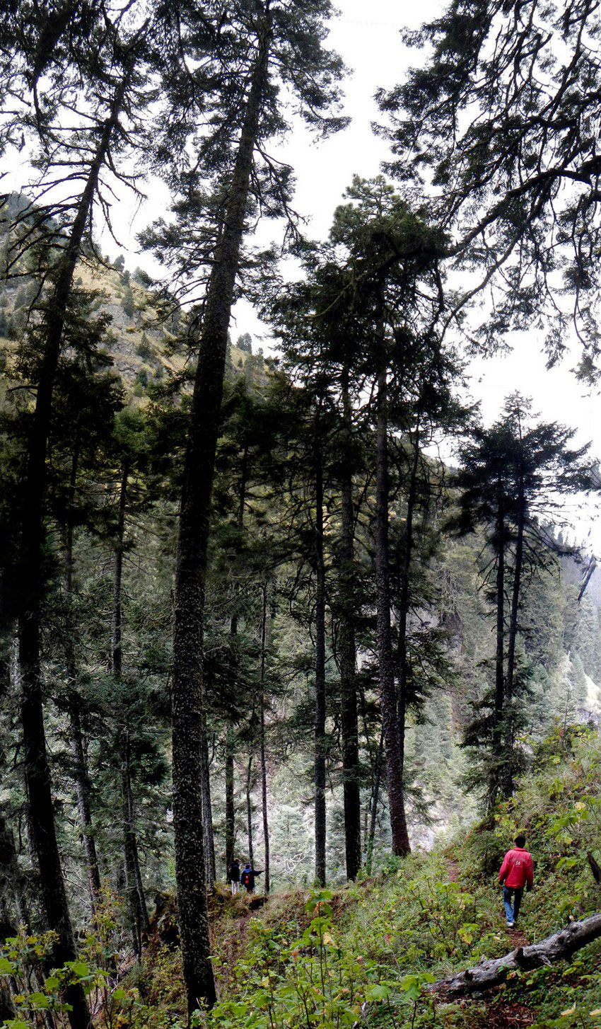 Pine trees in the Valle de los Gigantes can reach a height of 100 meters.
