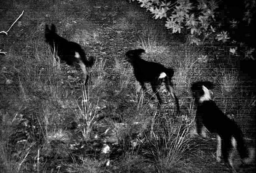 Camera-trap photo of dog pack inside Bosque la Primavera in Jalisco.