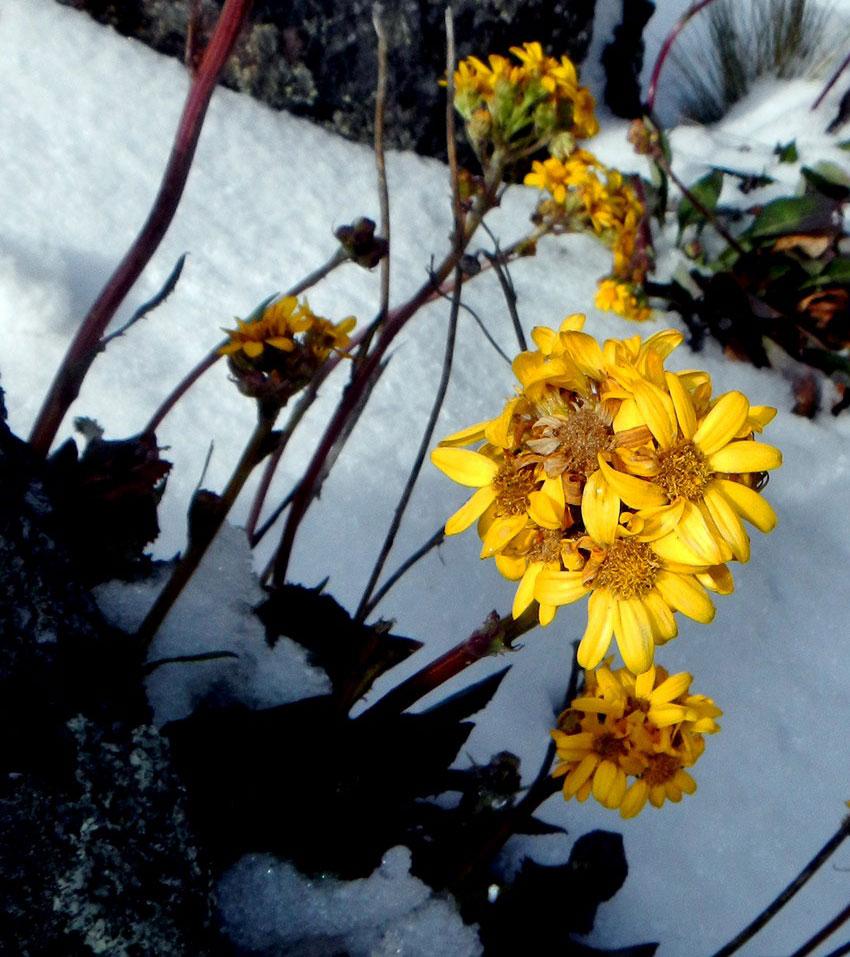 Flowers blooming in a rare snowfall on El Nevado.