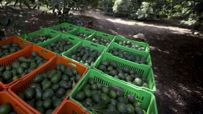 One of Mexico's perks is plentiful avocados.