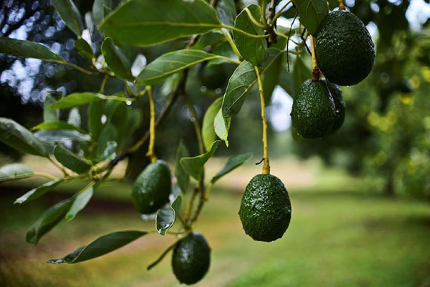 Avocados are considered a fruit, fitting the criteria of a berry.
