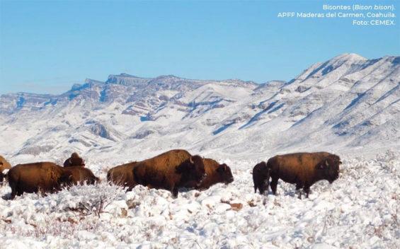 The American buffalo herd in Coahuila.