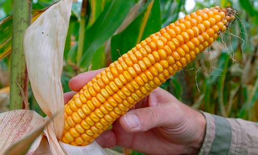 A cob of GMO corn called MON810 developed by Monsanto.