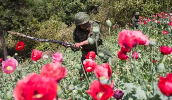 A soldier at work destroying opium poppy plants.