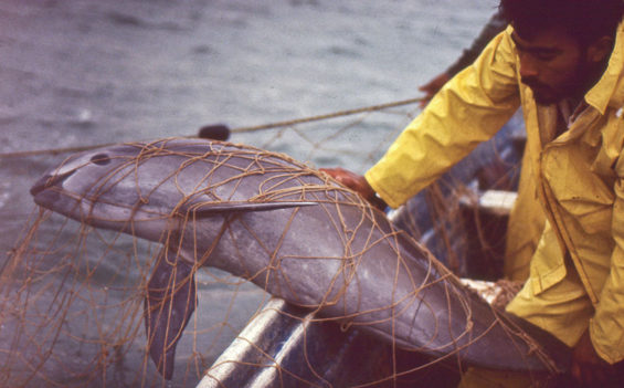 A vaquita porpoise trapped in a fishermen's net.