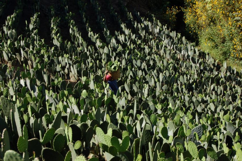 Nopal (cactus) farming is hard work.