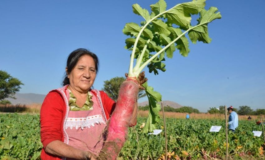 Radishes are tubers that can grow to an astounding size.