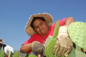 Needles are not the only danger cactus farmers in Morelos face.