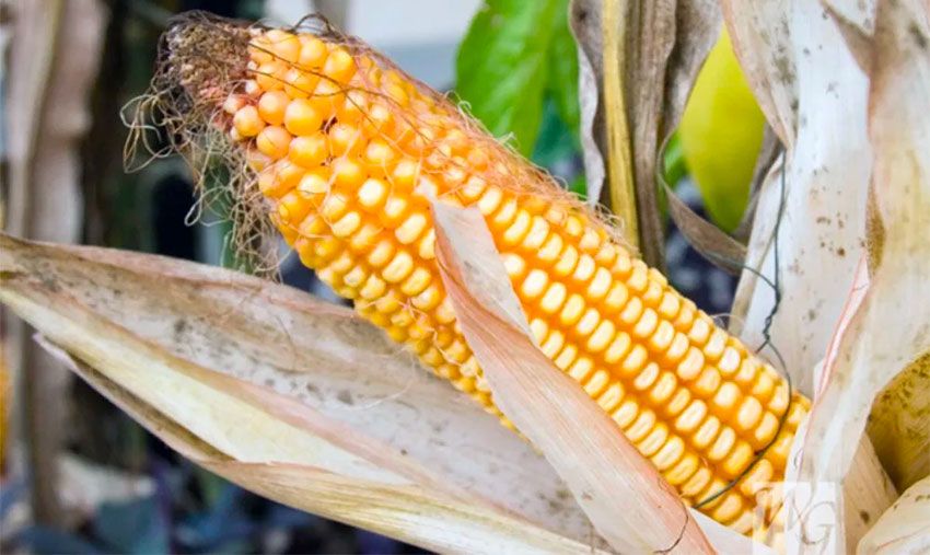 Almost all yellow corn imported is genetically modified.