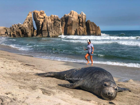 The seal enjoys a rest on a beach in Huatulco.