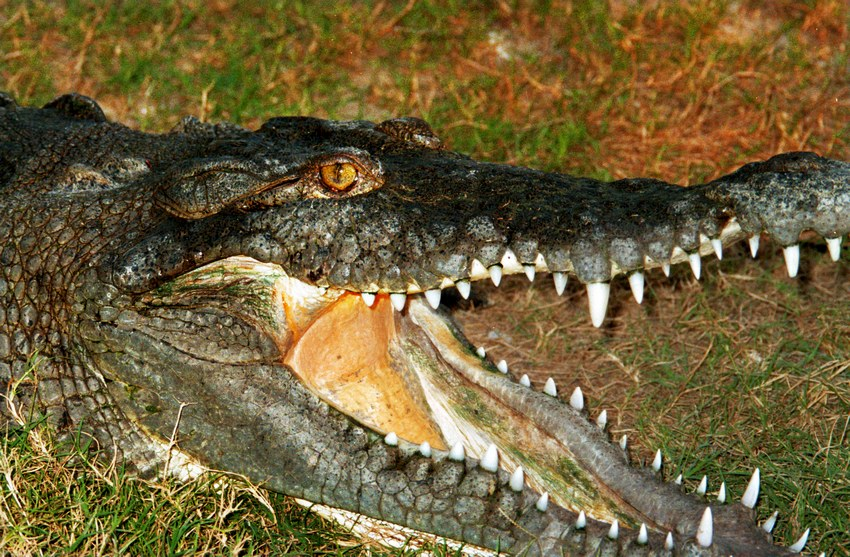 The American crocodile, just one of the many surprises in San Blas' mangroves, can reach four meters in length but isn't as aggressive as other species.