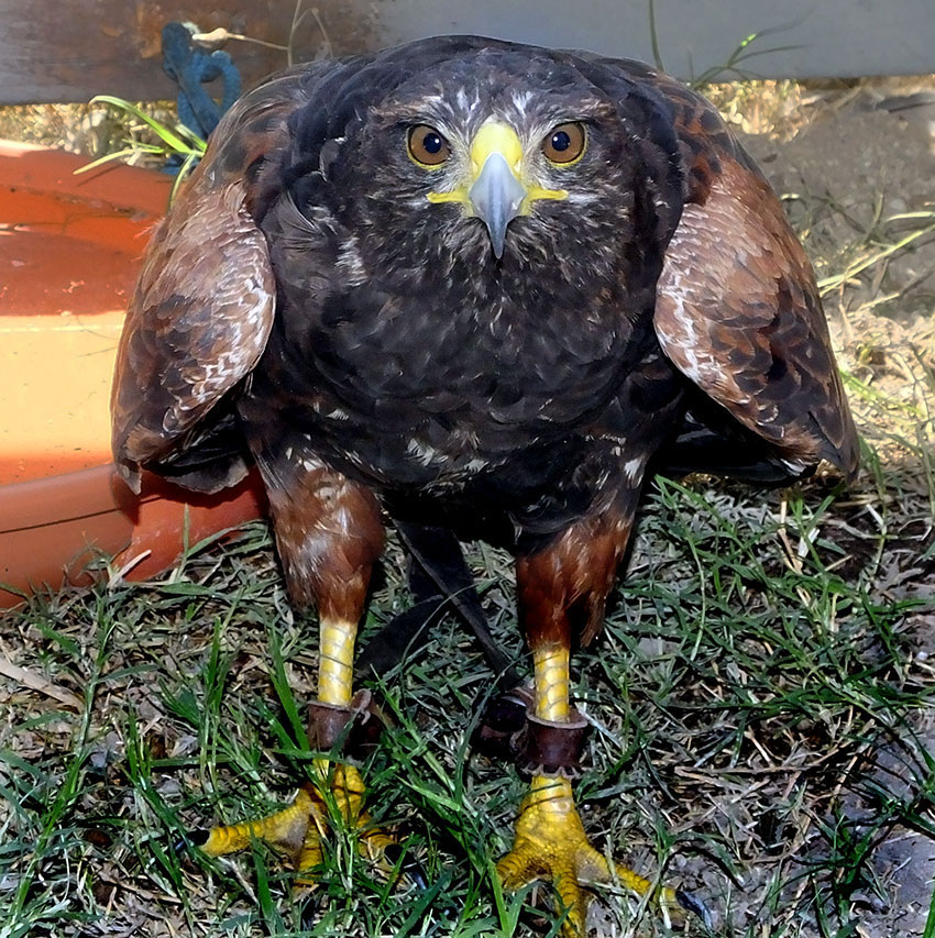 Harris hawks are social animals and cooperatively hunt in packs.