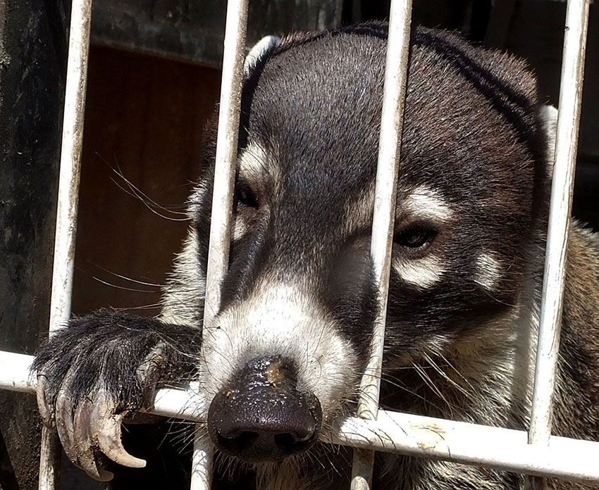 Although they are members of the raccoon family, coatis are active by day and sleep at night.