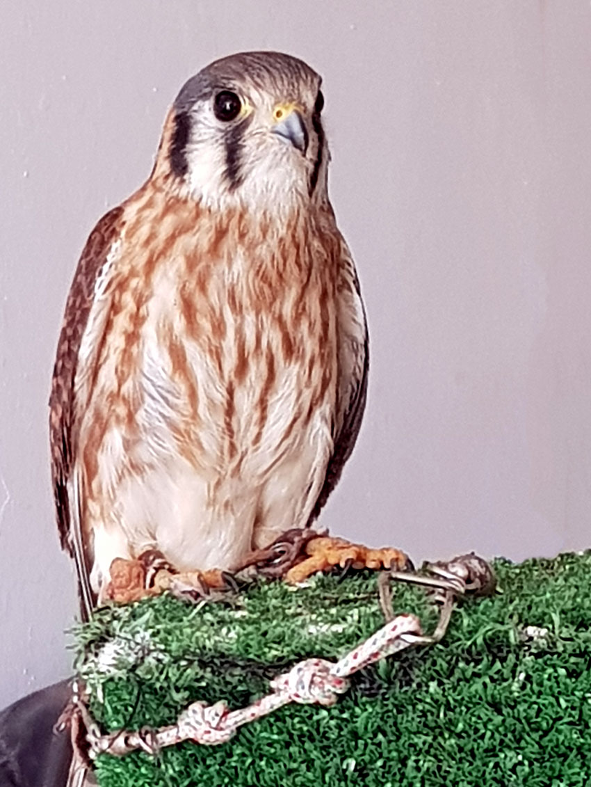 After getting off a diet of sausage and ham, this kestrel is ready to fly to the USA.