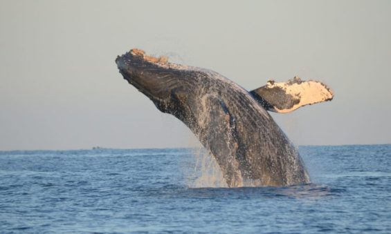 Catching a whale in the act.