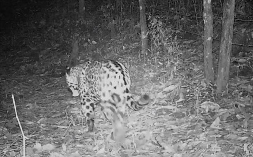 Jaguar caught by a camera in the Manantlán Biosphere Reserve.