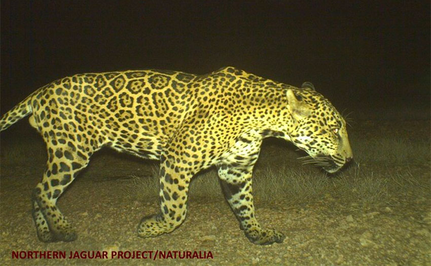 One of the big cats at the Northern Jaguar Reserve in Sonora.