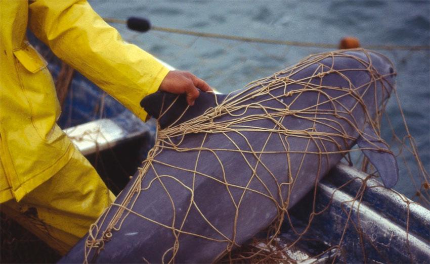 A vaquita marina trapped in a gillnet.