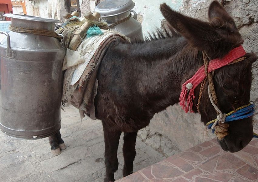 Donkey carrying milk.