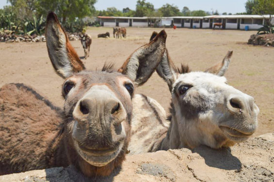 Donkeys living the good life at the Burrolandia sanctuary in Otumba, México state. Most of 57 animals there are rescues.