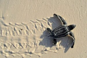 A baby leatherback sea turtle.