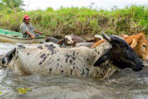 A farmer along the Usumacinta River moves his cattle.