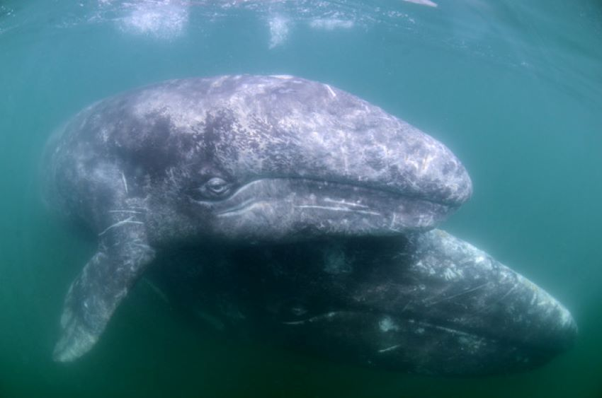 Grey whale and her calf.