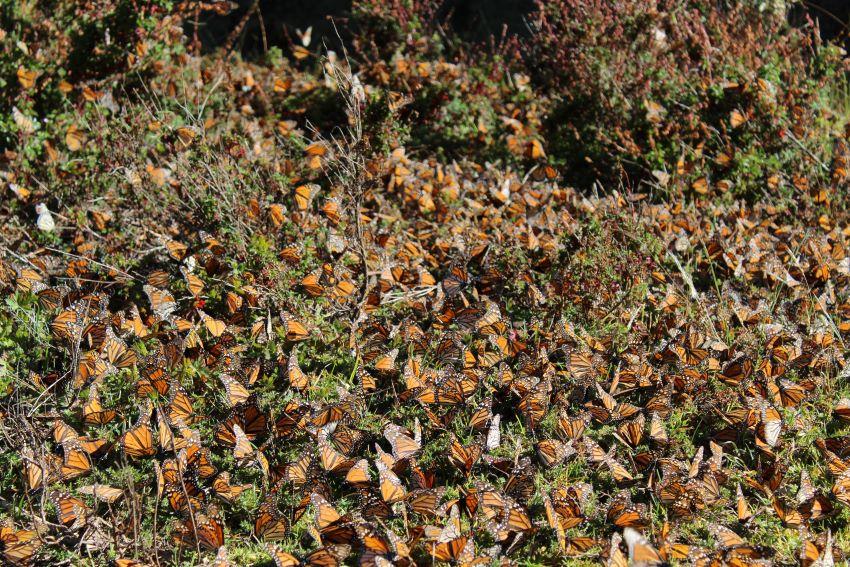 Monarch butterflies.