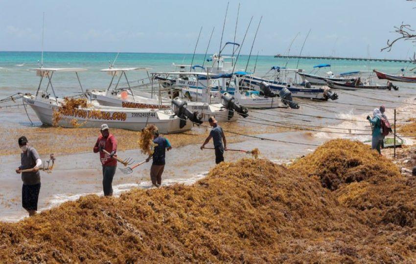Brigadas evacuan Sargassum de las playas afectadas de Quintana Roo.