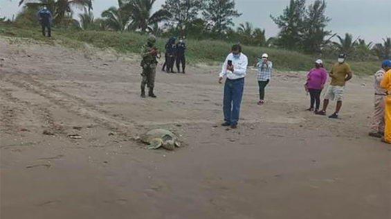 A turtle arrived on the beach while tar was being removed.