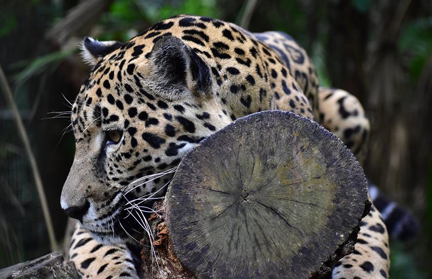 A jaguar lounging at the Belize Zoo.
