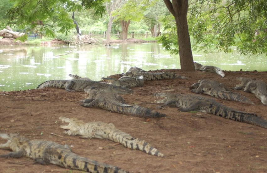 Culiacán crocodile farm