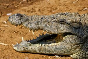 mexican crocodile
