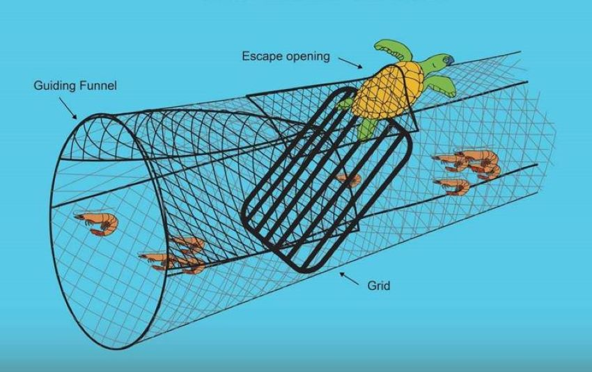 Excluder devices attached to shrimping nets allow an inadvertently captured sea turtle to escape.