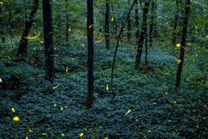 Fireflies at the Santuario de las Luciérnagas.