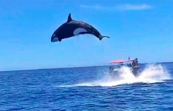 An orca makes an impressive leap after striking a dolphin.