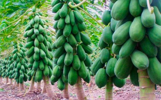 papaya plants