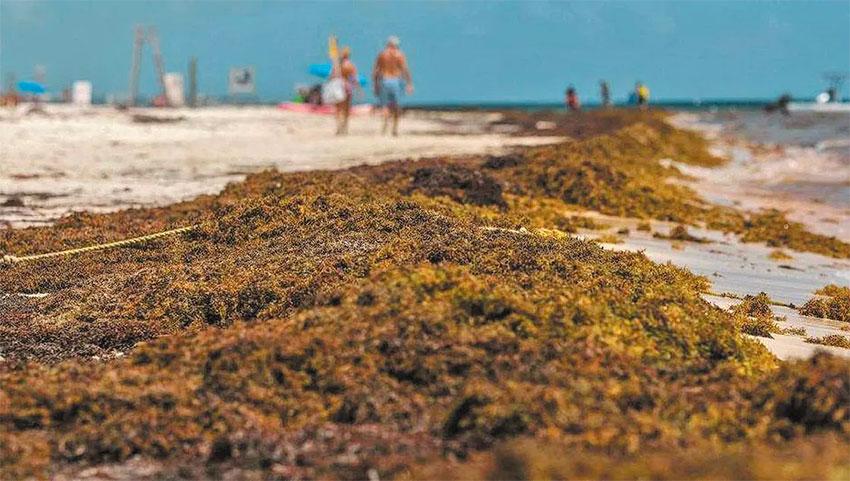 26 beaches have at least abundant quantities of sargassum.