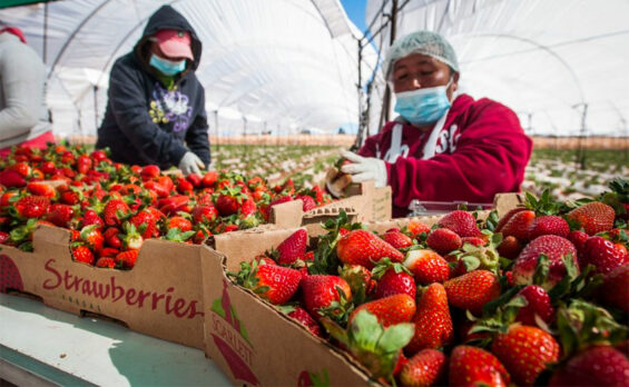 farmworkers and strawberries
