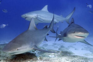 Yucatan sharks
