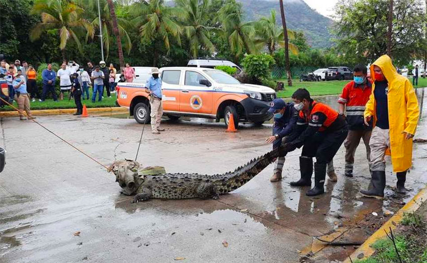 A crocodile is tied down on a street in Acapulco Friday.