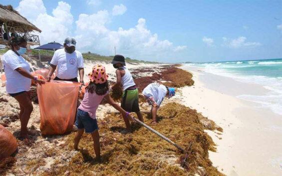 gathering sargassum