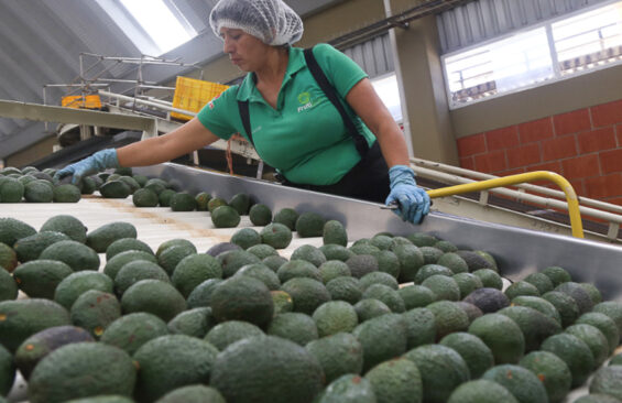 Processing avocados at a plant in Michoacán.