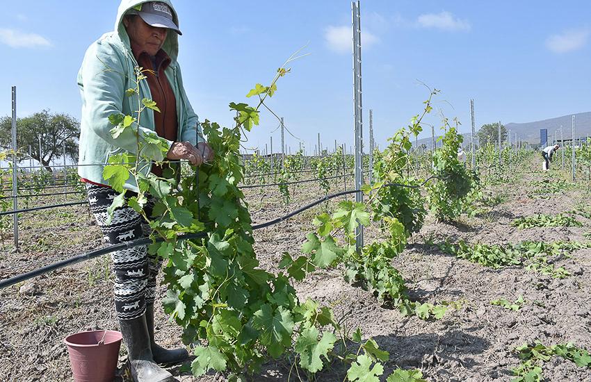 Vinaltura vineyards in Querétaro, Mexico